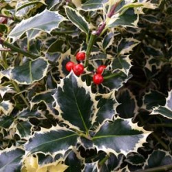 Ilex Aquifilium Golden Queen