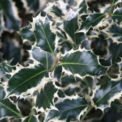 Ilex Aquifolium Silver Queen
