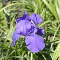 Iris Matinata