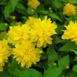 Kerria Japonica Plena Flora