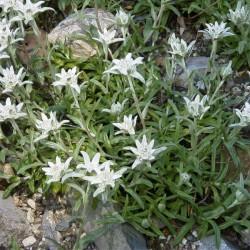 Leontipodium Alpinum