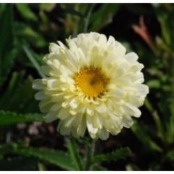 Leucanthemum Yuccifolium Real Dream