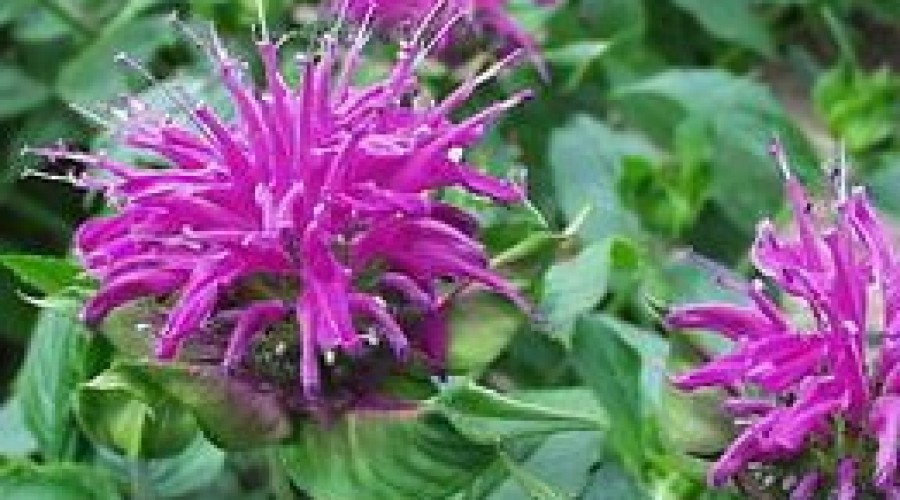 Monarda Blue Stocking