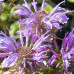 Monarda Elsie's Lavender