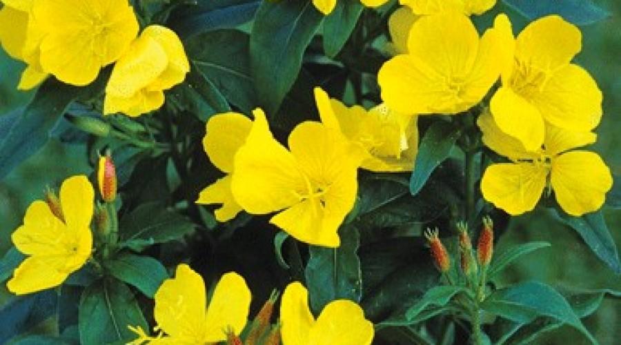 Oenothera Pilosella Mella Yella