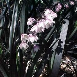 Ophiopogon Planiscapus Nigresens