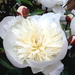 Paeonia Lactiflora Immacule