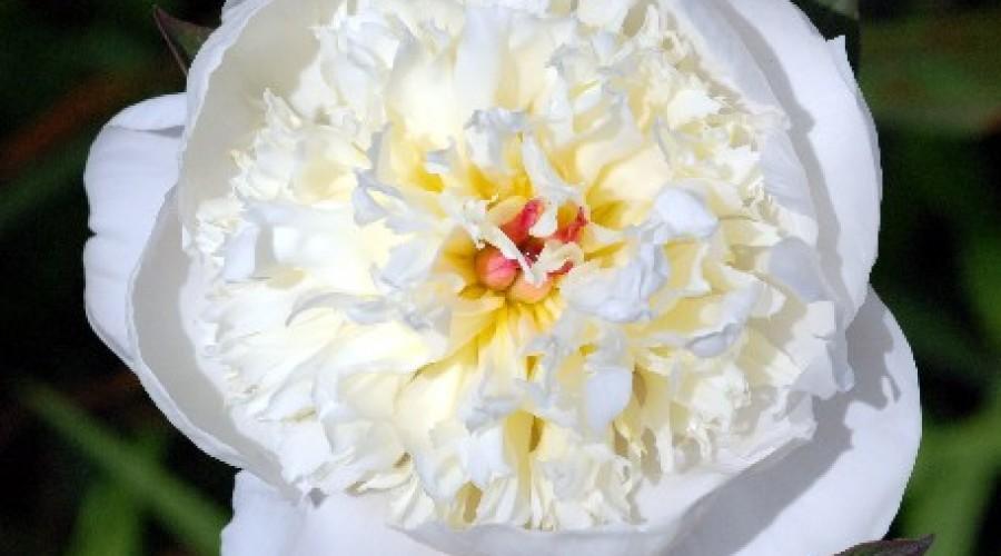 Paeonia Lactiflora Krinkled White