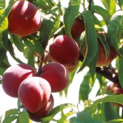 Peach Peregrine