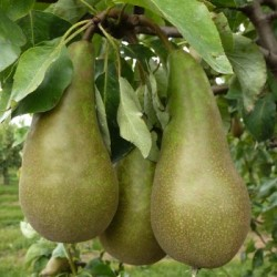 Pyrus Conference Pear