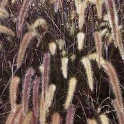 Pennisetum Alopecuroides Purple Fountain