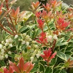 Pieris Japonica Little Heath
