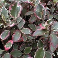 Pittosporum Tenufolium Elizabeth