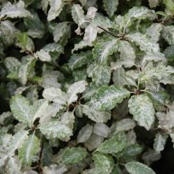 Pittosporum Tenufolium Irene Patterson