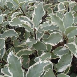 Pittosporum Tenufolium Variegata