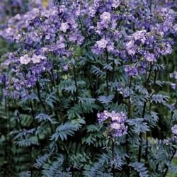 Polemonium Yezonense  Purple Rain