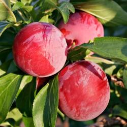 Prunus Domestica Victoria Plum