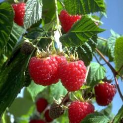 Rubus Ideaus Heritage Raspberry