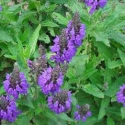 Salvia Nemorosa Marcus