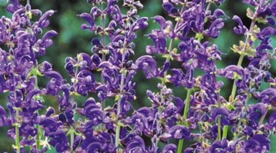 Salvia Pratensis Twilight Serenade