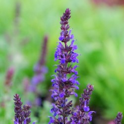 Salvia X Superba Merleau Blue