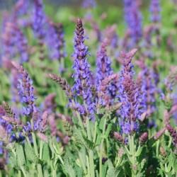 Salvia X Sylvestris Blauhugel