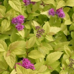 Spiraea Japonica Candle Light