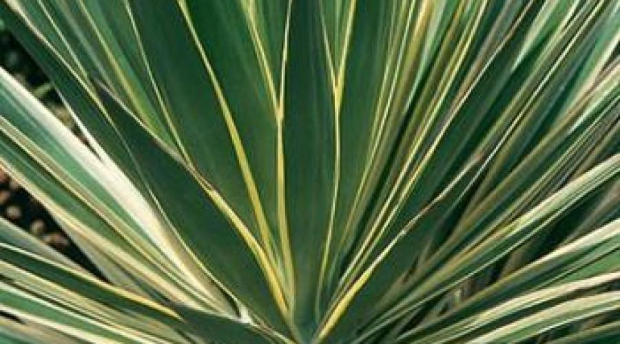 Yucca Gloriosa Variegata