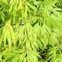 Acer Japonicum Dissectum