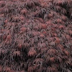 Acer Japonicum Dissectum Garnet