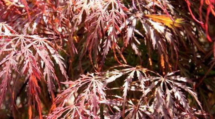 Acer Japonicum Inabe-Shidare