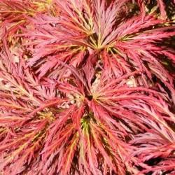 Acer Japonicum Ornatum