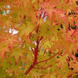Acer Palmatum Sango- Kaku