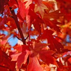 Acer Rubrum Autumn Blaze