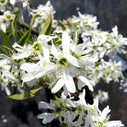 Amelanchier x Grandiflora Ballerina