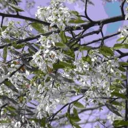 Amelanchier x Grandiflora Robin Hill