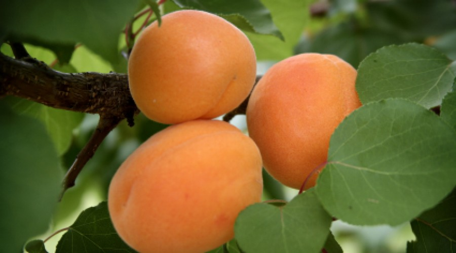 Apricot Early Moorpark