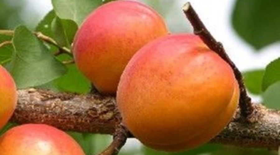 Apricot Goldcot
