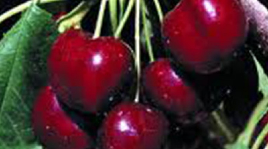 Prunus Lapins Cherry