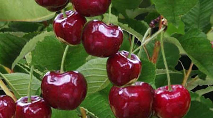 Prunus Sunburst Cherry