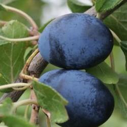 Prunus Institia Farleigh Damson
