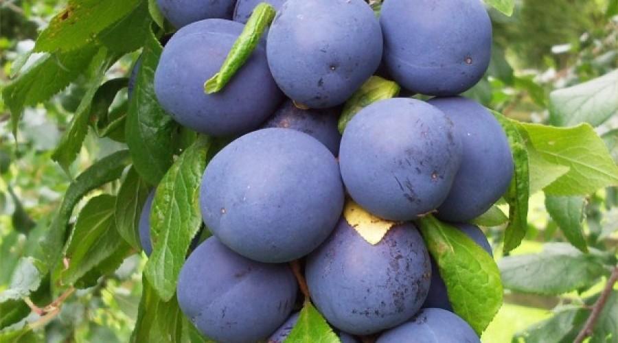 Prunus Institia Merryweather Damson