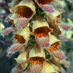 Digitalis Spice Island