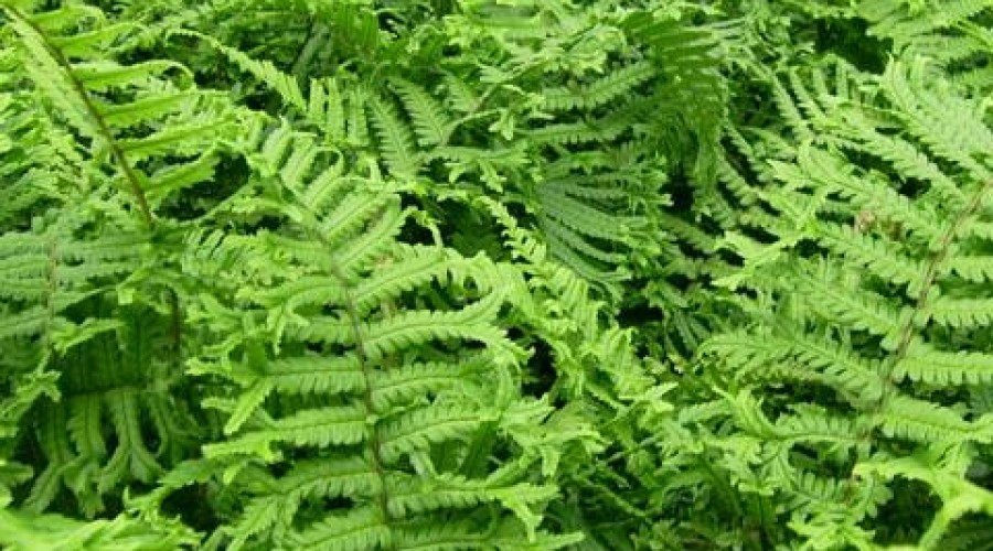 Dryopteris Cristata The King