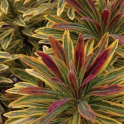 Euphorbia x Martinii Ascot Rainbow