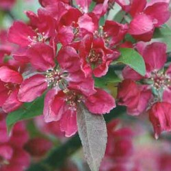 Malus Cheals Weeping