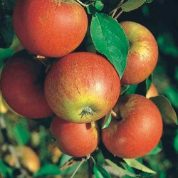Malus Domestica Cox Orange Pippin