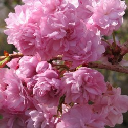 Prunus Candy Floss