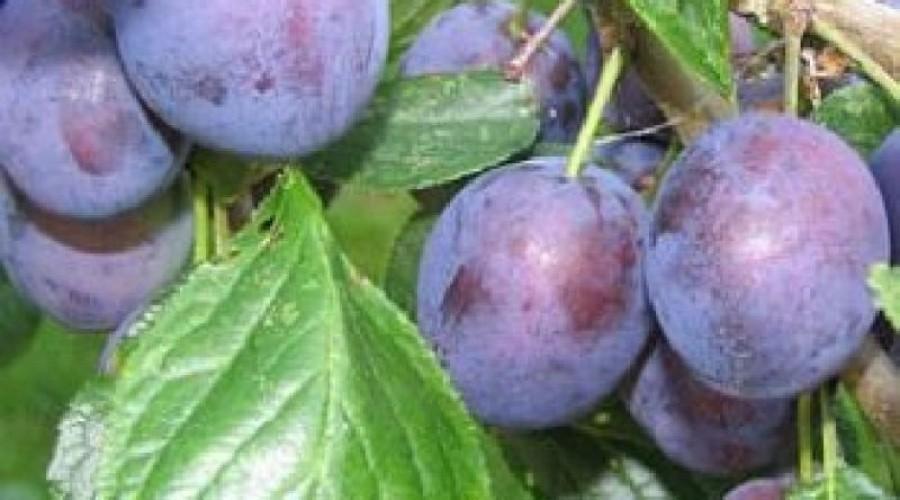 Prunus Domestica Opal Plum