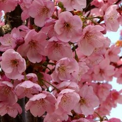 Prunus Shirdare Yoshino